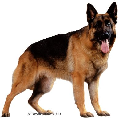 royal canin breed german shepherd adult g nstig bei. Black Bedroom Furniture Sets. Home Design Ideas