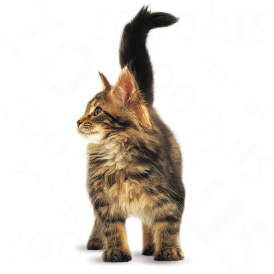 royal canin maine coon kitten zooplus. Black Bedroom Furniture Sets. Home Design Ideas