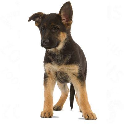 Royal Canin Maxi Junior Active