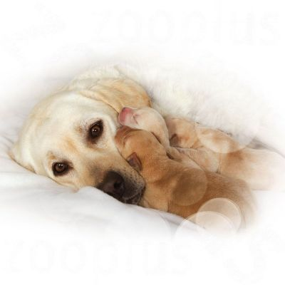 royal canin maxi starter mother babydog. Black Bedroom Furniture Sets. Home Design Ideas