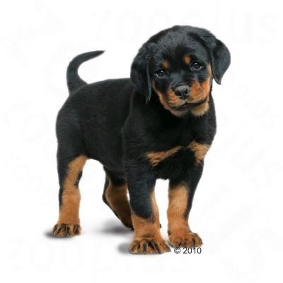 Orijen Dog Food Reviews >> Royal Canin Rottweiler Junior | Free P&P on orders £29+ at zooplus